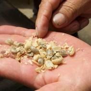 SAN AGUSTIN / Visite d'une finca de café : l'étape de séchage s'arrête quand il devient possible d'enlever la 2e peau. Le producteur envoie ensuite sa production à un intermediaire (la puissante Federacion de los productores de café) qui s'occupe de la tostion et de l'exportacion. Dans le cas de cette finca, 95% part vers San Francisco. Seule le café de 2e qualité est consommé en Colombie. Pas de chance pour les colombiens…