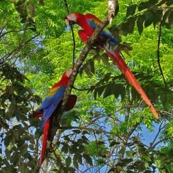 PLAYA PAN DULCE / Deux Ara macao. Ils se baladent toujours en couple et hurlent pour marquer leur territoire. Ils raffolent de graines et d'amandes dont ils laissent tomber la coque sur nos petites têtes