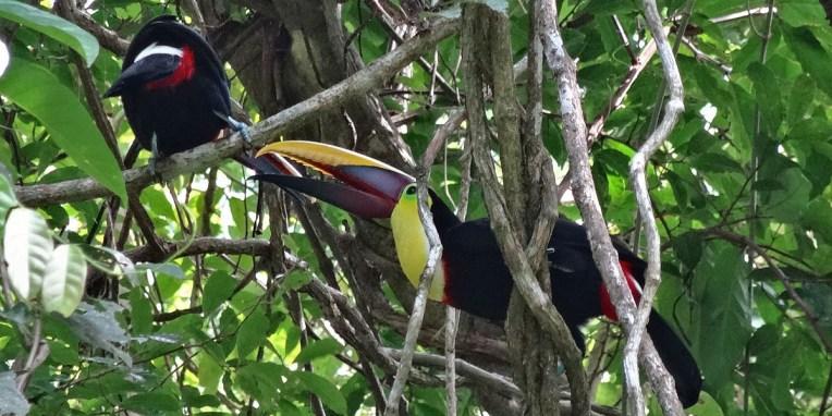 PN MANUEL ANTONIO / Le toucan !