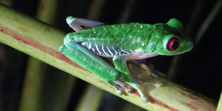 STATION BIOL. LA GAMBA / Balade nocturne dans la forêt tropicale : la rana (grenouille) emblème du Costa Rica. Une espèce en voie d'extinction…