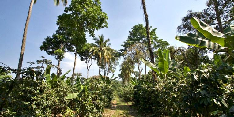 FINCA SANTA ELENA / Visite de la finca : une exploitation caféière fonctionne sur trois étages de végétations qui ont chacun leur rôle