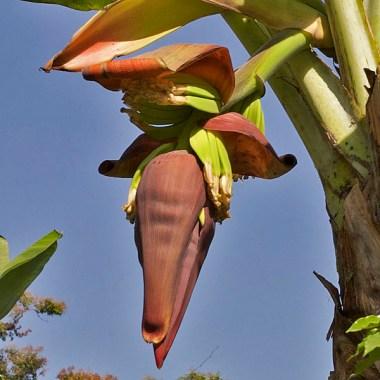 FINCA SANTA ELENA / Visite de la finca : régime de bananes en devenir