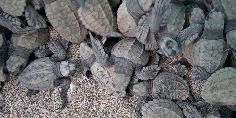 MONTEZUMA / Relâché de 99 tortues (tortues qui viennent de sortir de leur coquille)