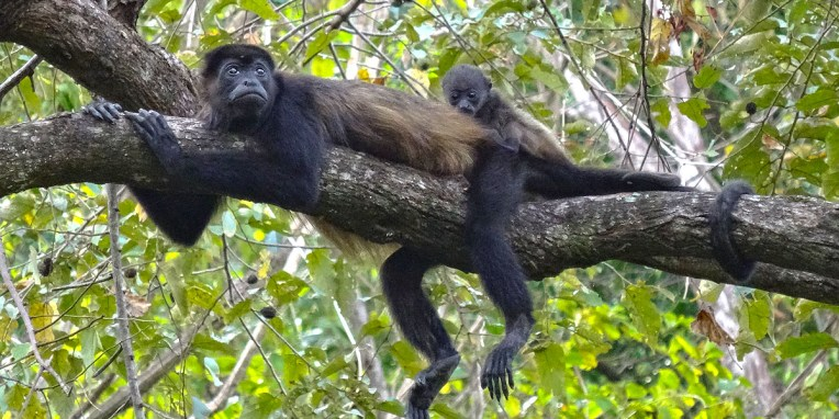 SAMARA / Un groupe d'une 10aine de singes araignées a pris l'habitude de passer au dessus de nous tous les jours à la même heure.