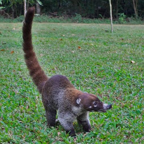 TIKAL / Coati. Ils se baladent par groupes de 20, suffisamment habiles pour se promener de branches en branches