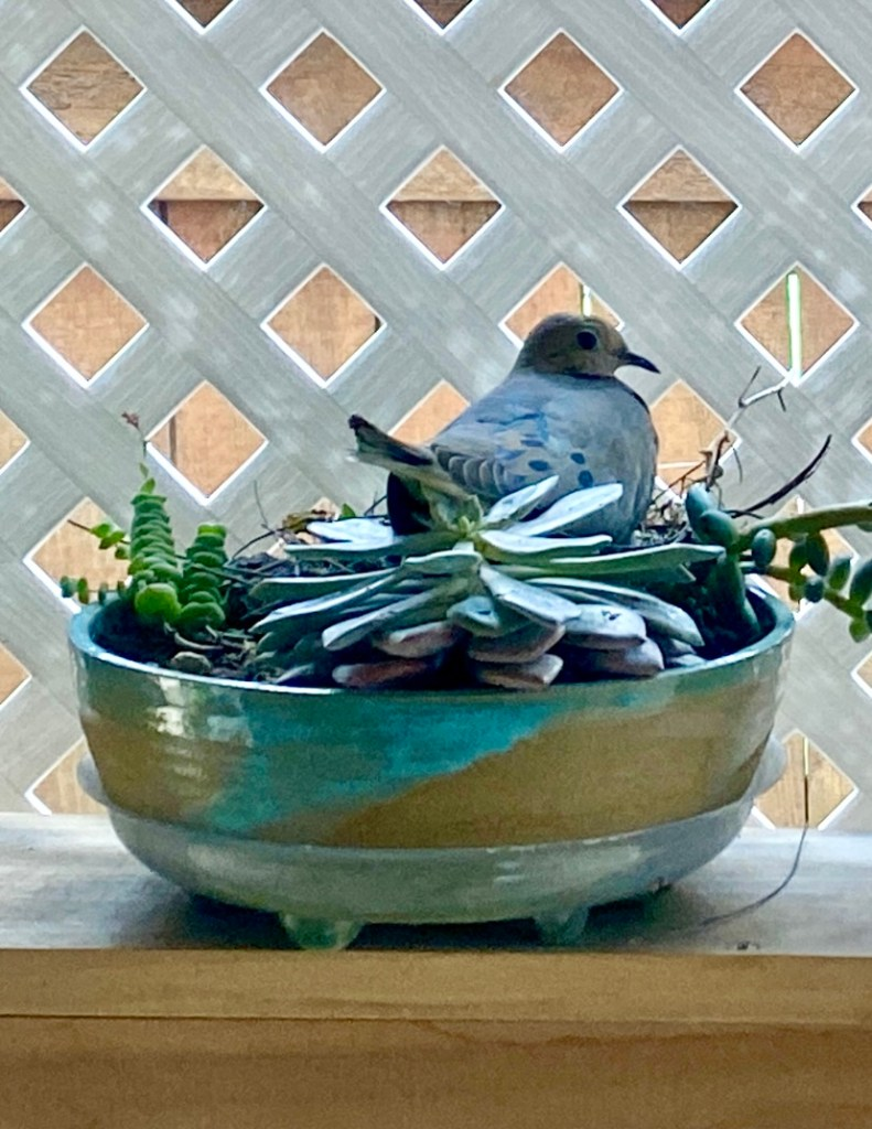 A dove nesting in a pottery pot