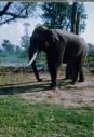 ChitwanChainedElephantNep1998