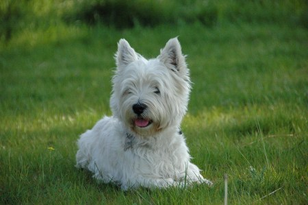 Westie from Pixababy