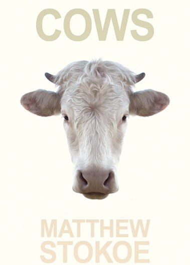 Cows-matthew-stokoe
