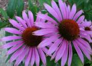 Purple Coneflower Echinacea found in Soja Botanicals Super Creme