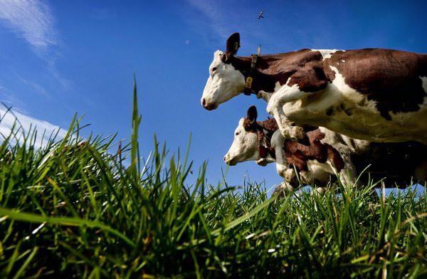 К чему снится стадо коров. Стадо коров во сне, что ждать в реальности. Вас побеспокоило стадо коров во сне Прочтите статью, она раскажет, что ждать в реальности