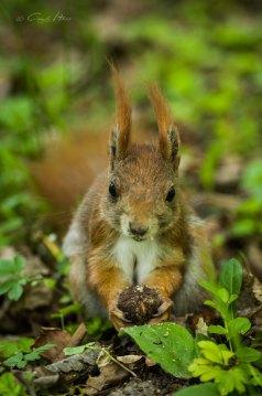 red squirrel, nut, Nuss