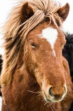 Iceland, horse, Winter