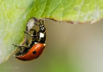 Motschekiepchen, lady bug, Blatt, Käfer, Makro, macro, Garten