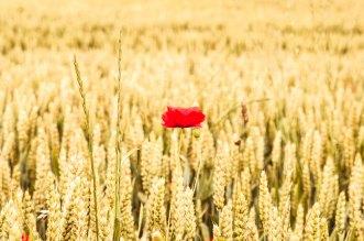 poppy, Sommer, summer, Getreide, Weizen, Gerste