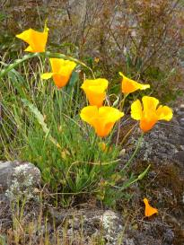 The California Poppy.