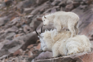 Mountain_Goats_Photo_by_Nathaniel_Smalley