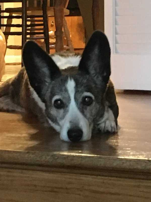 Margot the corgi with big ears