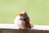 sonyaliraphotographybabyredbirds