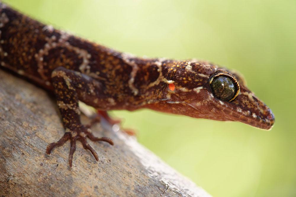 Cyrtodactylus, Gekkonidae, Lézards, Malaisie, Reptiles, Trips
