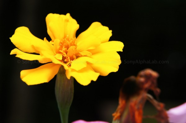 A Yellow Flower - Sony Nex-C3, 18-55mm f/3.5-5.6 Zoom Lens @ 54mm, f/8, 1/160sec, ISO 200