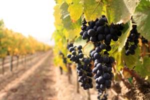 Vineyard Photo from Ventana Vineyards, Sustainable Vineyards