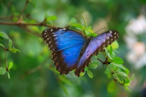 Blue Morpho Butterfly. Butterflies are symbols of transformation, among other things. Image courtesy of Public Domain Pictures.