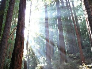 Light through Redwoods at Muir Woods, California. Public domain image courtesy of Rich via Wikimedia.