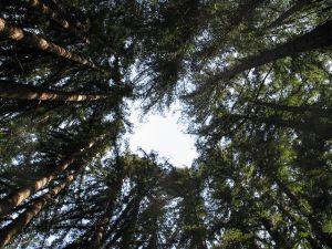 Ring of Redwoods. Image courtesy of Goldblattster, CC-SSA via Wikimedia.