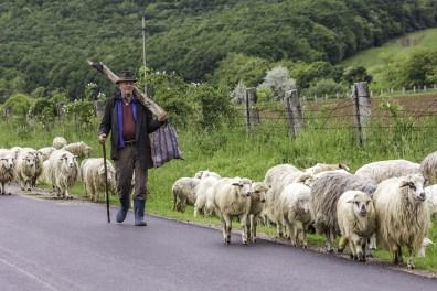 Le Berger Et Ses Moutons