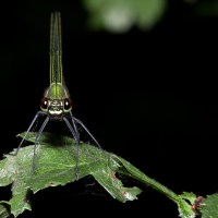 Noir ou blanc (Calopteryx splendens)