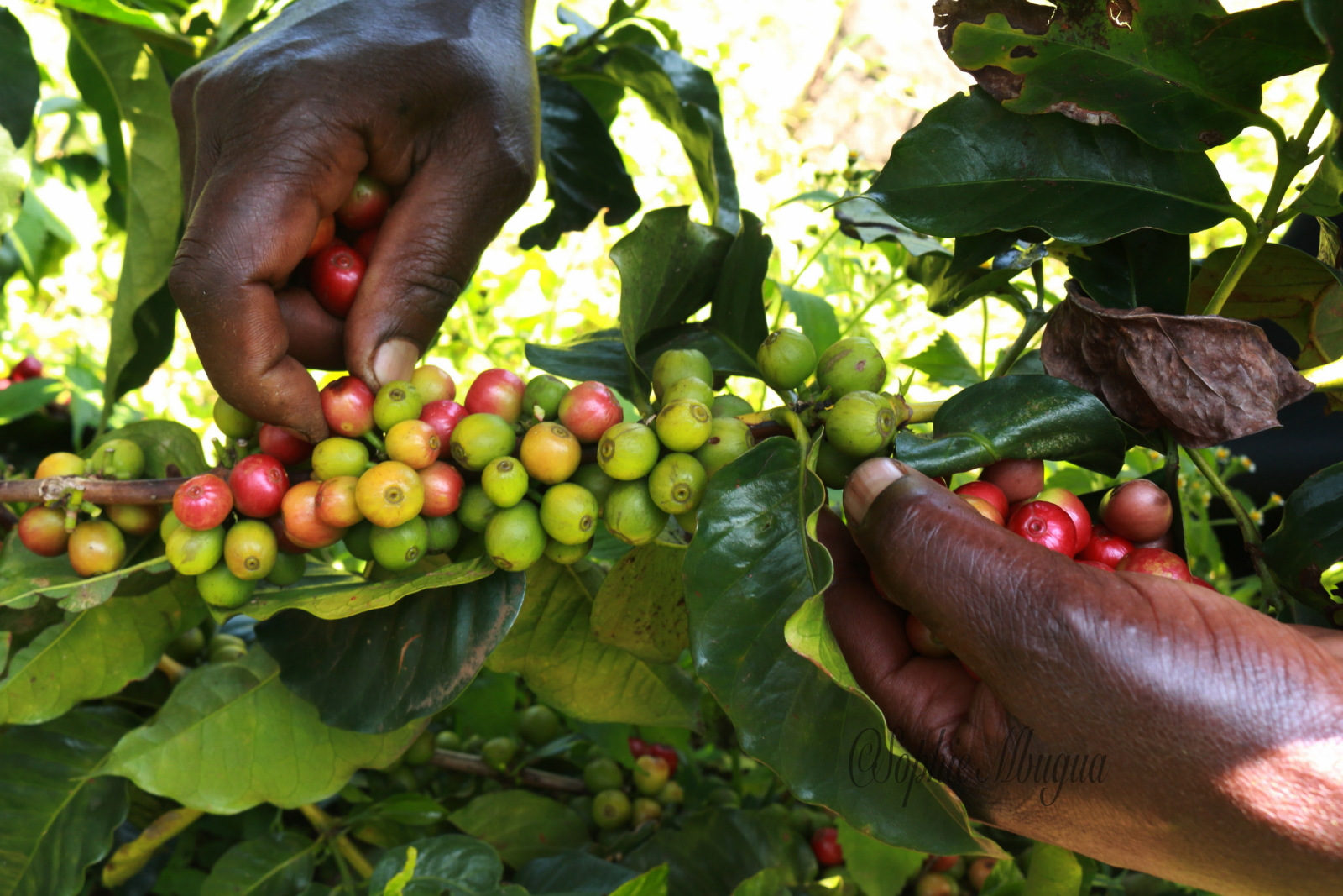 Climate Change effects on Coffee