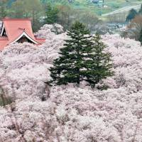 Ephemeral Beauty of Cherry Blossoms in Takato, Japan