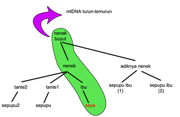 diagram-mtdna.jpg
