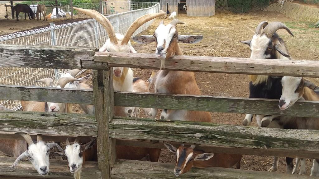 大山牧場のヤギ2