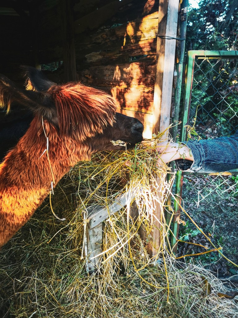 Red and black alpaca eats hay out of Jens hand in rustic barn.