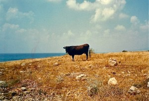 The lonely bull.