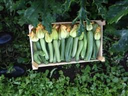 zucchine fresche fresche