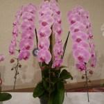 高級胡蝶蘭の世界・シリーズ3