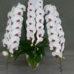 贈答用高級胡蝶蘭を起業した本当の理由‐お花との出会い-