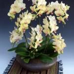 高級胡蝶蘭の世界・和鉢「まどか」ってなあに・・・