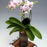 高級胡蝶蘭の世界・和鉢に「かぐや姫」のネーミング!