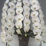 胡蝶蘭のコンシェルジュ・・贈答用の胡蝶蘭の選び方1