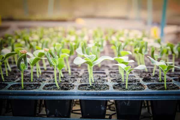 Тонкости выращивания дыни на дачном участке