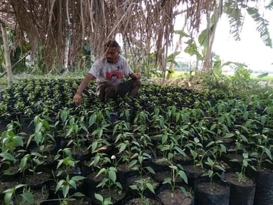 Pemuda asal Negekeo Flores yang sukses bertani cabai