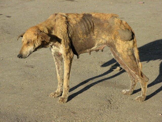 ilustrasi anjing terkena virus rabies