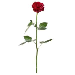 rosa que dura eternamente