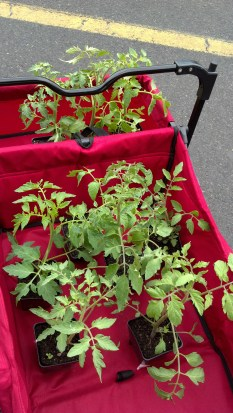 tomatoes from public market