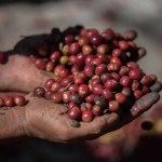 organic red berries coffee beans in farm