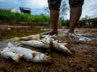 Ikan sungai, punca makanan bagi penduduk setempat semua mati diracun sisa toksik lombong bauksit
